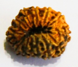 Twelve Face Java Rudraksha