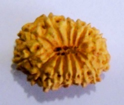 Thirteen Face Java Rudraksha