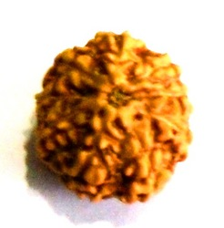 Eight Face Java Rudraksha