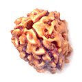 three face rudraksha india